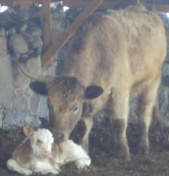 Minnie's Calf 2