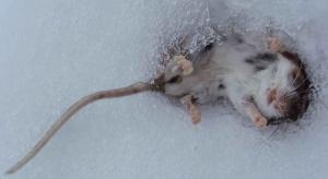 Frederique the Mouse