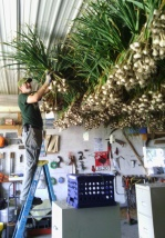 Hanging Garlic for Curing