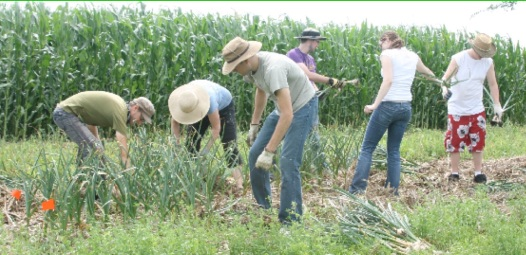 Old Garlic Harvest