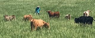 Cattle Pasture Tall Grass 2018